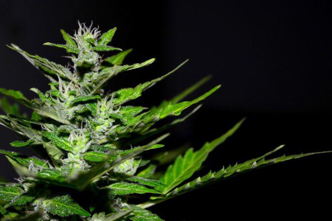 how many marijuana plants can you grow in california